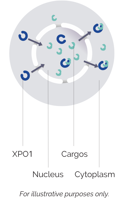 Labelled image of XPO1 in a healthy cell
